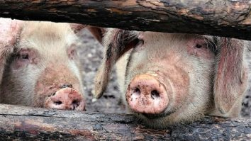 legea porcului