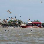 pelicani delta dunarii