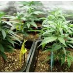 canabis cultivat ghiveci